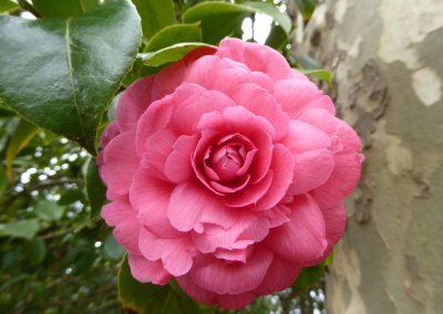 Kamelienblüte JK
