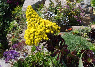 Flowering Aeonium arboreum Minack Theatre
